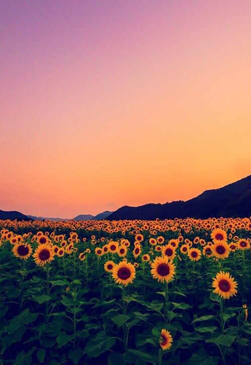 beautiful flowers landscape photography sunflowers